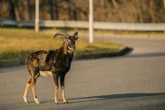一只年轻musmon公羊的画象,站立在路 免版税库存照片