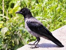 一只幼小乌鸦看植被 库存照片