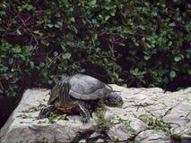 一只幼小乌龟在岩石站立在绿色叶子树旁边 免版税库存图片