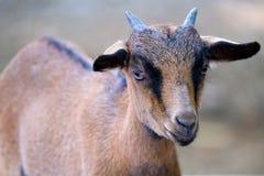 一只幼小公山羊 库存照片