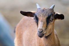 一只幼小公山羊 库存图片