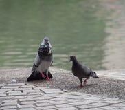 一只幼小公岩石鸠鸽子使用自然目视信号sho 图库摄影