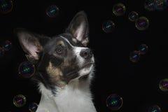一只幼小博德牧羊犬的画象与肥皂泡的 免版税图库摄影