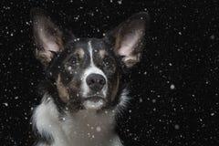 一只幼小博德牧羊犬的画象与雪花的 免版税库存图片