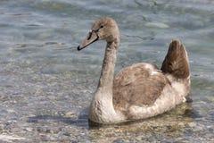 一只幼小天鹅在lak游泳 图库摄影