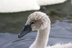 一只幼小天鹅的特写镜头 库存图片