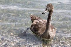 一只幼小天鹅 免版税图库摄影