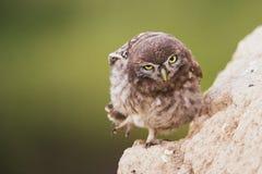一只幼小小猫头鹰在他的孔和看照相机附近站立 库存图片