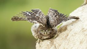 一只幼小小猫头鹰在他的孔附近站立并且涂它的翼 免版税库存照片