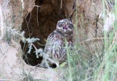 一只幼小小猫头鹰在巢坐 库存图片