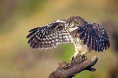 一只幼小小猫头鹰坐一个忠心于翼传播 库存照片
