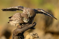 一只幼小小猫头鹰坐有被涂的翼的一根棍子 免版税库存图片