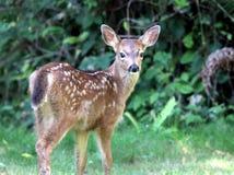 小鹿在西华盛顿 免版税库存照片