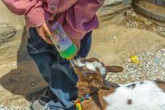 一只幼小山羊喝从瓶的牛奶 免版税图库摄影