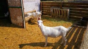 一只幼小山羊在一个牛围场 免版税库存照片