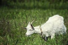 一只幼小山羊在草甸和吃吃草 免版税图库摄影