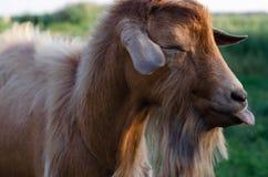 一只幼小山羊的被弄脏的模糊的画象 免版税库存照片