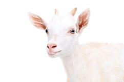 一只幼小山羊的画象 免版税库存照片