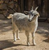 一只幼小山羊 库存图片