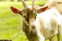 一只幼小山羊 库存照片