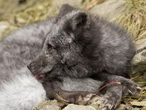 一只幼小极性狐狸基于岩石 免版税库存照片