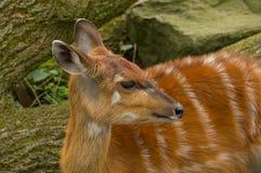 一只幼小林羚羚羊 库存照片