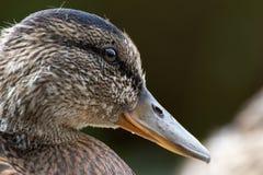 一只幼小母鸭子的画象 库存图片