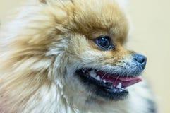 一只幼小波美丝毛狗的面孔 图库摄影