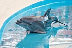 一只幼小海豚是微笑和使用在水池 图库摄影