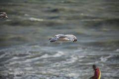 一只幼小海鸥和海的水 免版税图库摄影