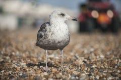 一只幼小海鸥在布赖顿和在它后的一辆汽车 免版税库存照片