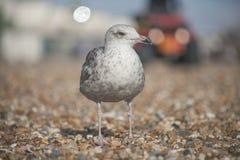 一只幼小海鸥在布赖顿有模糊的背景 库存图片