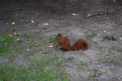 一只幼小灰鼠在公园 库存照片