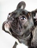 一只幼小牛头犬的画象 免版税库存照片
