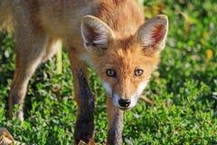 一只幼小狐狸的画象 库存照片