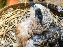 一只幼小猎鹰鸟 免版税库存照片
