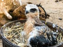 一只幼小猎鹰鸟 库存图片
