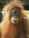 一只幼小猩猩在北苏门答腊密林  免版税库存图片