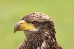 一只幼小白头鹰的纵向 免版税图库摄影