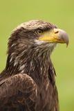 一只幼小白头鹰的纵向 图库摄影