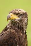 一只幼小白头鹰的纵向 库存图片