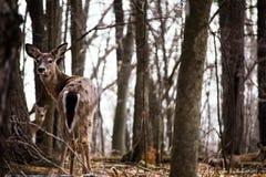 一只幼小白尾鹿。 免版税库存图片