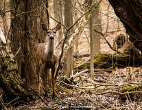 一只幼小白尾鹿。 库存图片