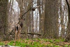 一只幼小白尾鹿。 库存照片