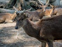 一只幼小白尾鹿的特写镜头 免版税库存图片
