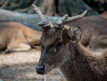 一只幼小白尾鹿的特写镜头 库存图片