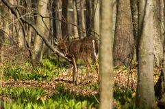 一只幼小白尾鹿 免版税库存图片