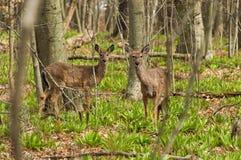 一只幼小白尾鹿 图库摄影