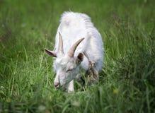一只幼小白色山羊在草甸吃草 图库摄影