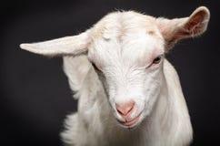 一只幼小白色山羊的画象 免版税库存照片